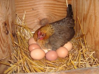 Hen Laying Eggs In The Dream