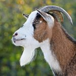 Spiritual Meaning Of Goat In The Dream