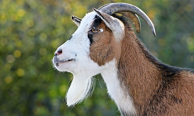 SPIRITUAL MEANING OF GOAT IN THE DREAM - Native Goats In Dream
